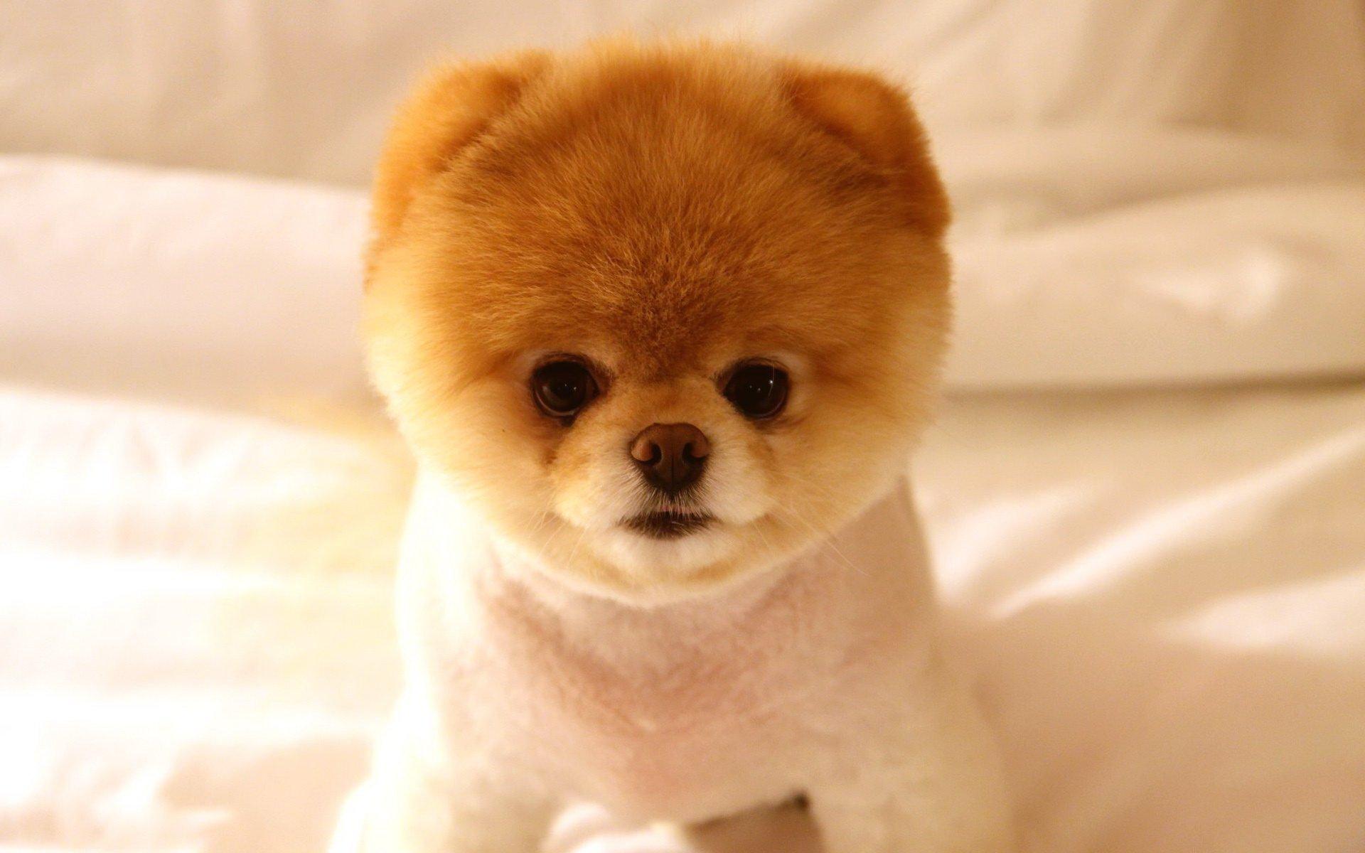 Фото и порода самых маленьких собачек