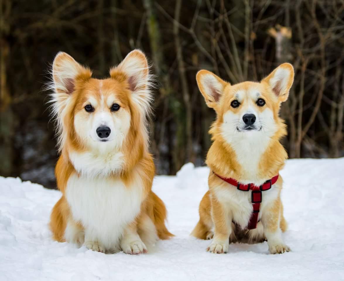 Corgi Twins