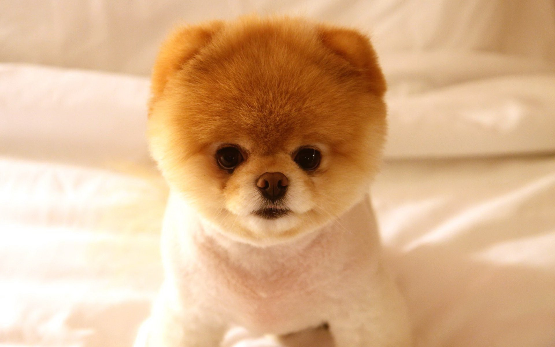 Wait Until You See What This Pomeranian Did