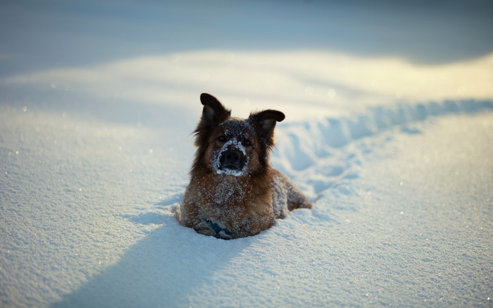 german-shepherd-in-snow
