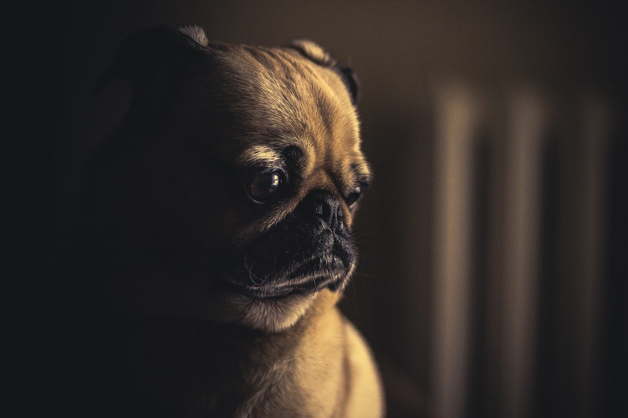 Pug Reacting to YouTube Video